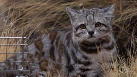 Cuatro países de Sudamérica se unen para salvar al gato andino