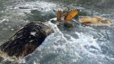 Facebook: encuentran a dos alces que murieron congelados en mitad de una pelea