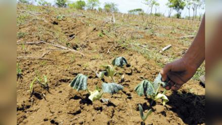 Sequía provocó la pérdida de 50 mil hectáreas de cultivos en Cajamarca