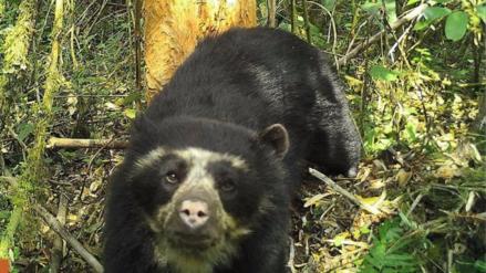 Captan por primera vez al oso de anteojos en parque nacional de San Martín