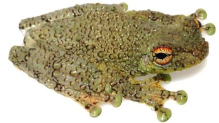 """La """"serpiente cantante"""" es en realidad una nueva especie de rana"""