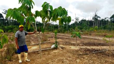 ¿Se pueden recuperar los bosques destruidos por la fiebre de oro?