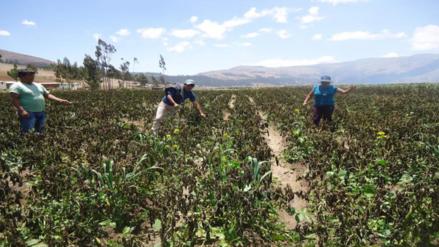 Andahuaylas y Chincheros afectadas por sequía en cultivos agrícolas