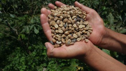 Reportaje | El café peruano se enfrenta a la coca para sobrevivir en la Amazonía