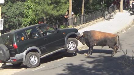 Un toro embistió a una camioneta y estuvo a punto de volcarla