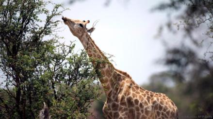 Las jirafas ingresaron a la lista de especies en peligro de extinción