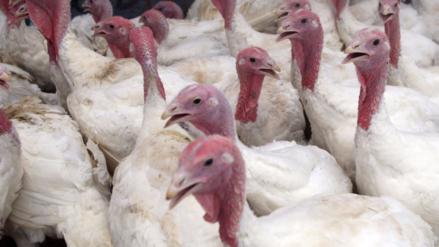Envíos de carne de pavo se mantienen al alza por demanda regional
