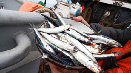 Produce: Primera temporada de pesca de anchoveta en el sur se inicia el 17 de enero
