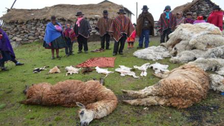 Alpacas mueren por falta de alimentos y heladas en Ayacucho