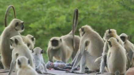 Así reaccionan unos monos cuando creen que un compañero ha muerto