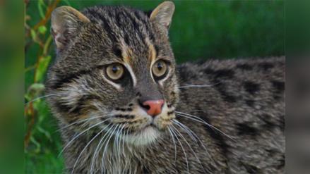 El esquivo y misterioso gato pescador de Asia corre peligro