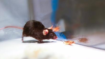 Ratones se convierten en feroces depredadores al activarles circuito cerebral