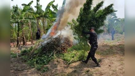Policía incautó y destruyó más de dos toneladas de marihuana en Cajamarca