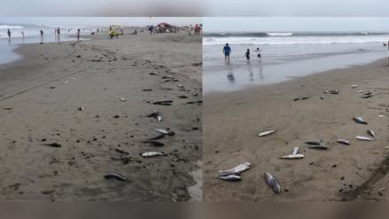 Más de cinco toneladas de peces vararon en playa de Puerto Eten