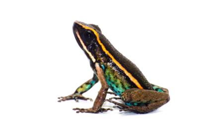 Descubren una especie de rana venenosa en las laderas amazónicas de los Andes