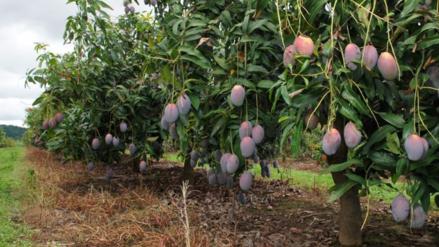 Sequía afectó calidad de la fruta en el distrito de Jayanca