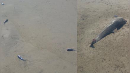 Chiclayo: peces y delfines aparecen muertos en playa Lobos