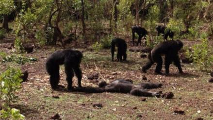 Un grupo de simios atacó y se comió al ex macho alfa de su comunidad