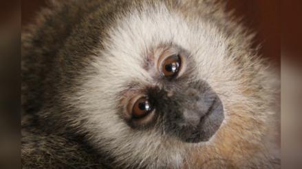 ¿Cuál es la situación de los primates en el Perú?