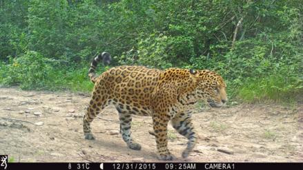 ¿Es posible conservar a los jaguares bolivianos en un área ganadera?