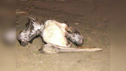 Huanchaco: hallan aves muertas a orillas de playa Huanchaquito