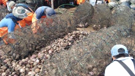 Sechura pierde el 90% de concha de abanico por altas temperaturas del mar