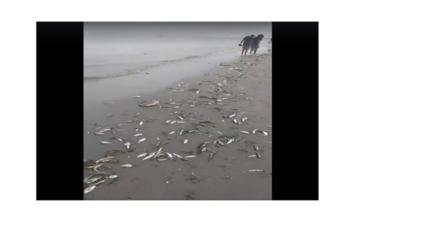 Piura: diversas especies de peces varan en mar de Sechura