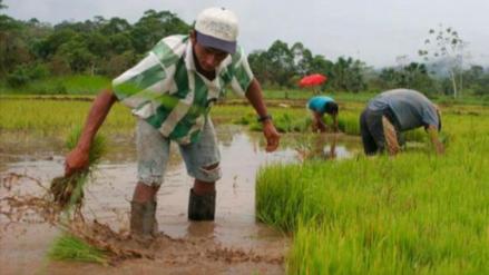 No ampliarán área de siembra de arroz en el valle Chancay- Lambayeque