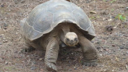 El lento paso de las tortugas gigantes de Galápagos hacia la recuperación
