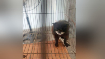 PNP de Trujillo rescata a mono en extinción que era vendido en internet