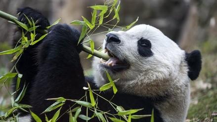 La panda Bao Bao regresó a China tras un viaje de 16 horas