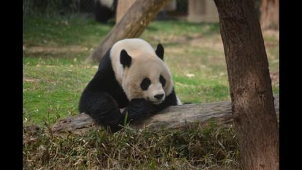 Osos panda son embajadores de China en Estados Unidos