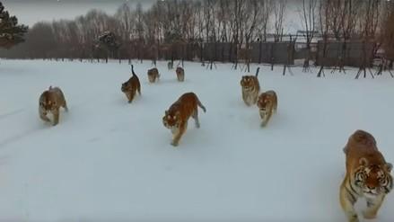 Video viral de tigres cazando un dron, podría ocultar una macabra realidad
