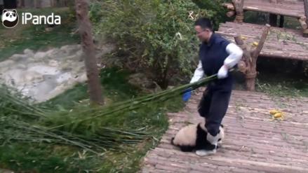 El pequeño panda que ha logrado 170 millones de reproducciones en Facebook