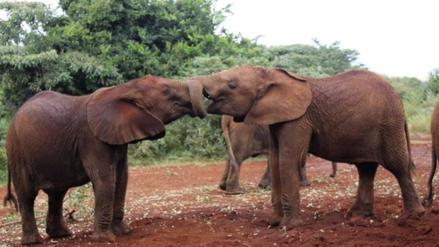 El elefante salvaje de África sería el mamífero que menos duerme