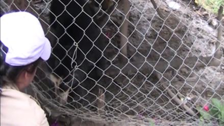 Video | La Policía Nacional rescató a un oso andino en la provincia de Chota
