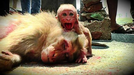 Mono bebé lloró ante el cuerpo de su madre atropellada