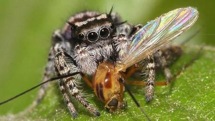 Arañas comen hasta 800 millones de toneladas de insectos al año