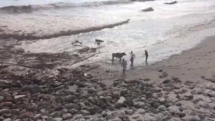 Tres vacas fueron arrastradas hasta el mar por huaico en Punta Hermosa