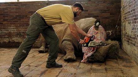Un zoológico en República Checa corta con motosierras los cuernos de sus rinocerontes