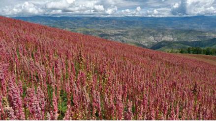 Destacan que quinua puneña es única en el mundo por ser orgánica y ecológica