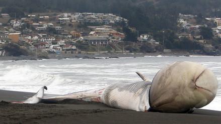 Ballena varada con gran protuberancia sorprende en la costa de Chile