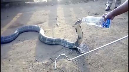 Una cobra toma agua de una botella obligada por la sequía en India