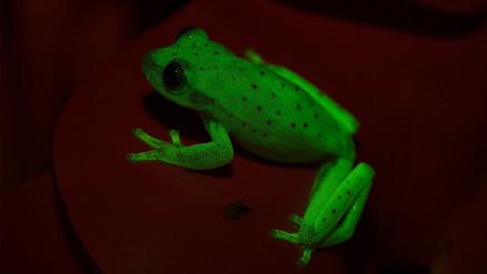 Descubren la primera rana fluorescente del mundo