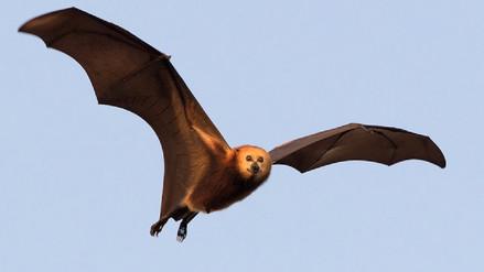 El zorro volador: una especie en riesgo de desaparecer por culpa de los humanos