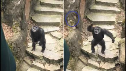 Chimpancé lanza excremento a visitantes de un zoológico: se sintió amenazado