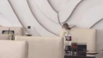 Graban a una rata merodeando en un restaurante y la administración responde