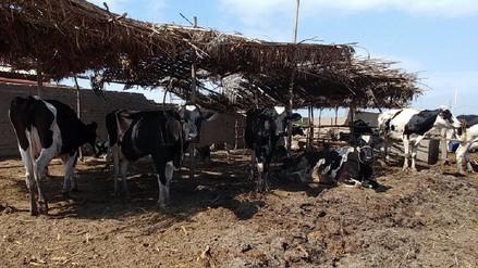 Inician vacunación de 60 mil cabezas de ganado contra el ántrax