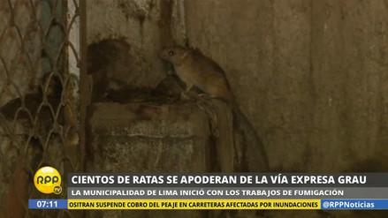 Cientos de ratas se apoderan de la Vía Expresa Grau