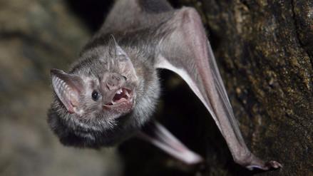 Hallan partes de un murciélago en una bolsa de ensalada en EE.UU.